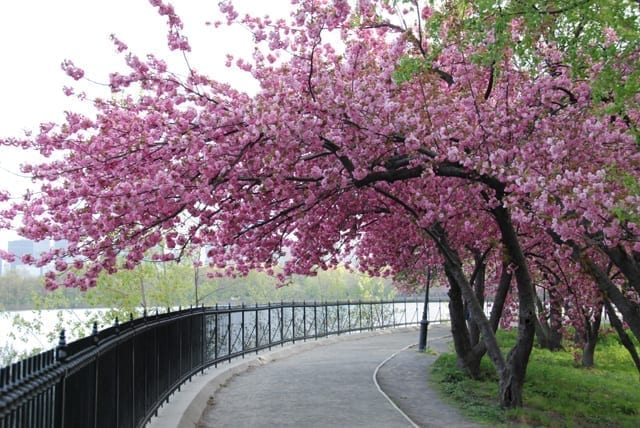 cherry-blossom-tree-s-in-bloom